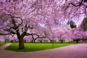 trešnjin cvet 2