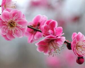 trešnjin cvet 3