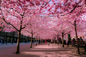 trešnjin cvet 4