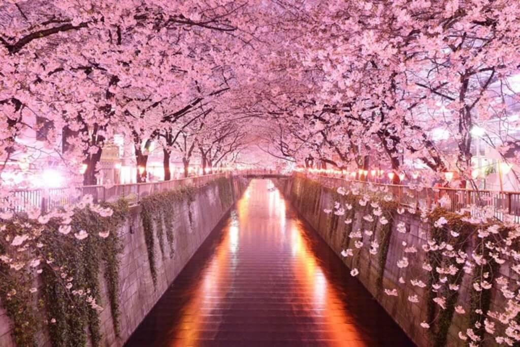 trešnjin cvet 1